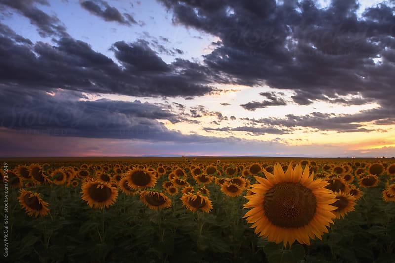 Sunflower Sunset by Casey McCallister for Stocksy United