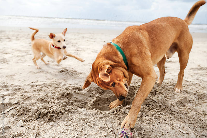 Dog & Puppy Playing at the Beach by Eldad Carin for Stocksy United