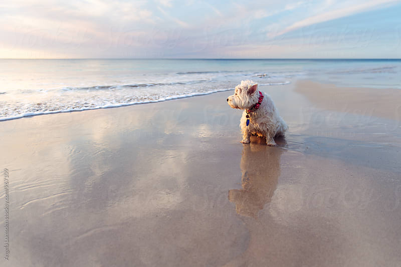 West Highland terrier sitting in wet sand at the beach watching the sunset by Angela Lumsden for Stocksy United