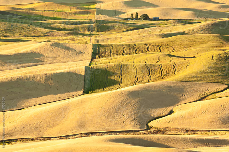 Palouse wheat by Mark Windom for Stocksy United