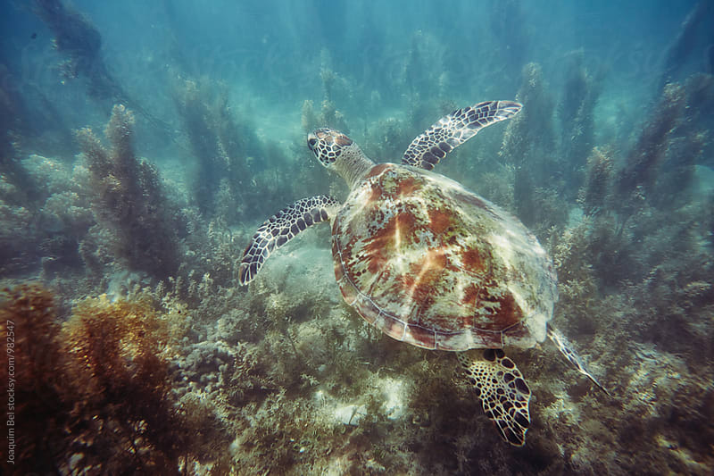 Sea Turtle swimming in shallow water by Joaquim Bel for Stocksy United