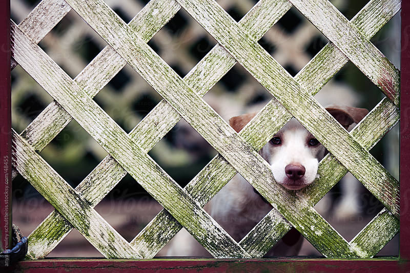 Lonely white puppy peeking longingly out through fencing by anya brewley schultheiss for Stocksy United