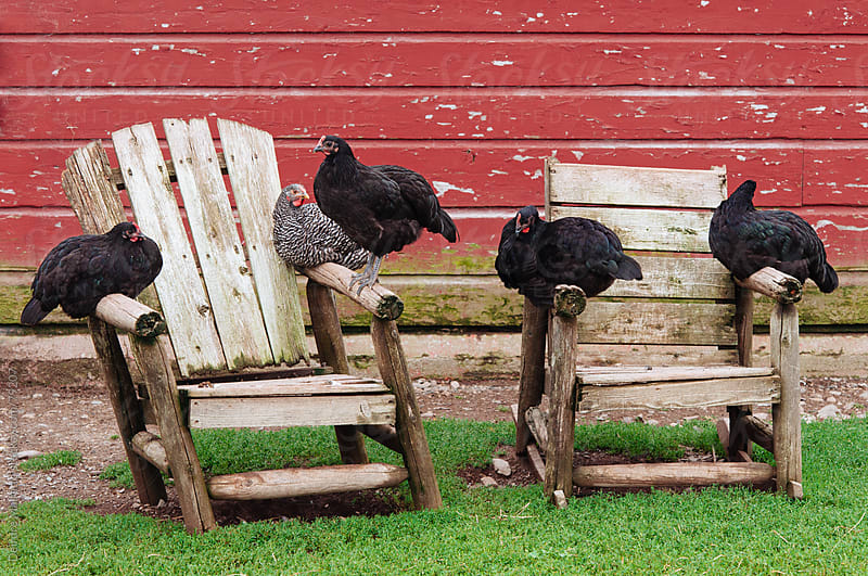 chickens roosting on adirondack chairs by Deirdre Malfatto for Stocksy United