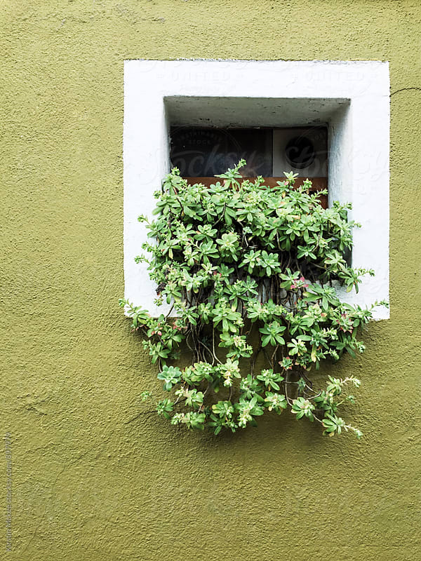 Plant on windowsill in Burano, Venice by Kirstin Mckee for Stocksy United