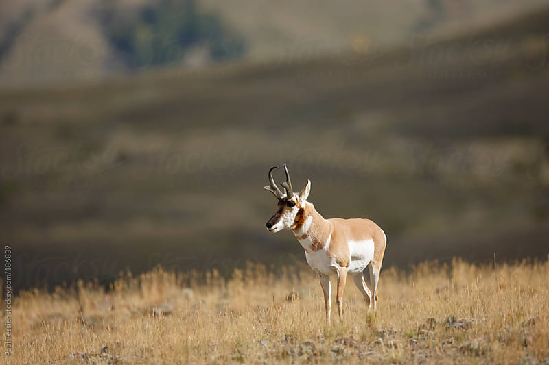 Pronghorn  by Paul Tessier for Stocksy United