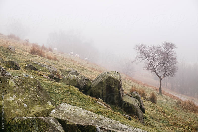 Sheep and tree in fog on a hillside. Derbyshire, UK. by Liam Grant for Stocksy United