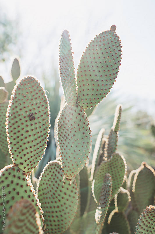 Bunny Ears Cactus by Preappy for Stocksy United