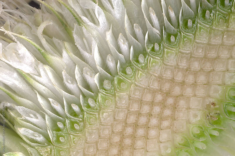 Close-up macrophotograph of a cross section of a blossoming teasel flower head (Dipsacus fullonum) by Ron Mellott for Stocksy United
