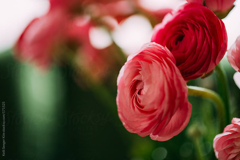 Closeup of Pink Ranunculus Flowers by Kelli Seeger Kim for Stocksy United