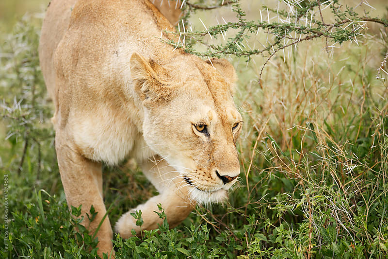 Lioness Movng Through Thornbush by Paul Tessier for Stocksy United