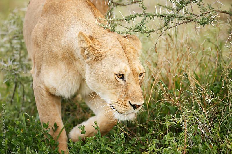 Lioness Movng Through Thornbush by Paul Tessier for Stocksy United