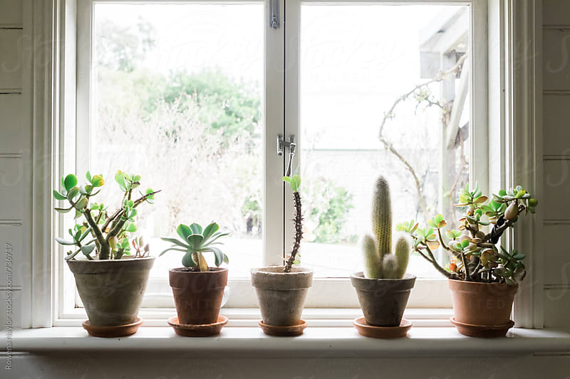 Row of Cacti on Window ledge by Rowena Naylor for Stocksy United