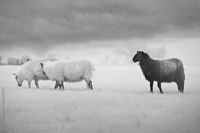 A black sheep grazing in a field amongst other sheep. by Andy Campbell for Stocksy United