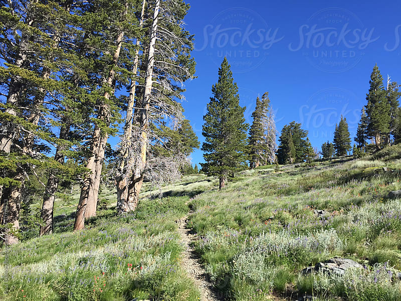 Hiking trail through lush, mountain meadow, Desolation Wilderness, CA by Paul Edmondson for Stocksy United