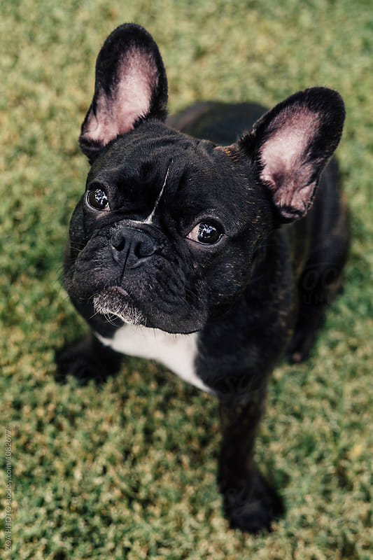 French Bulldog Potraits by ZOA PHOTO for Stocksy United