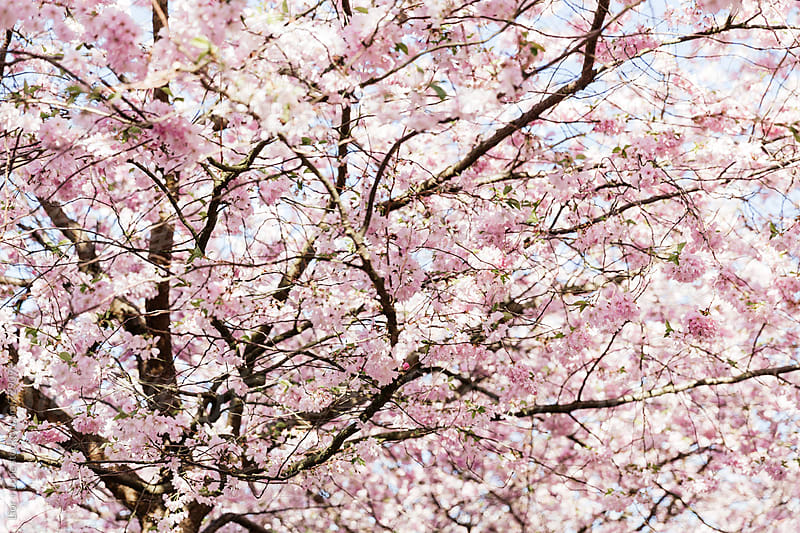 Closeup of cherry tree blossoming in spring by Lior + Lone for Stocksy United