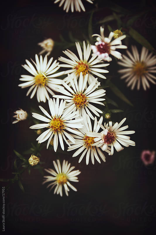 White Aster flowers on dark background by Laura Stolfi for Stocksy United