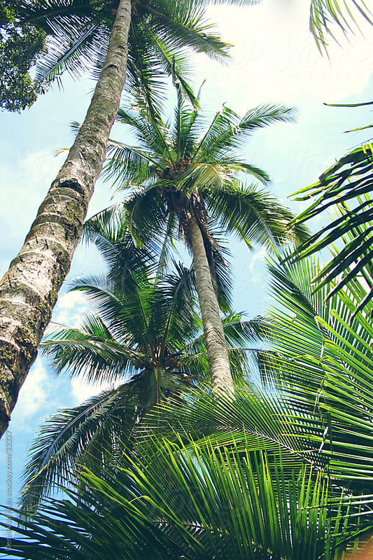 Palm trees reaching for sunlight on a tropic island by Denni Van Huis for Stocksy United