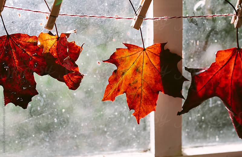 Bright maple leaves strung in front of a sunny window. by Helen Rushbrook for Stocksy United