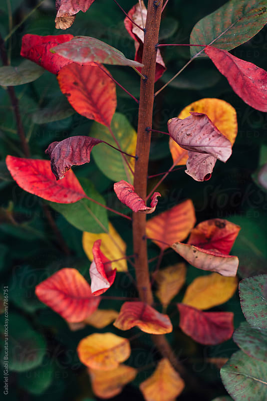 Fall leaves on a smoketree bush by Gabriel (Gabi) Bucataru for Stocksy United