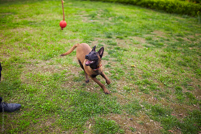 Malinois dog after ball by Bo Bo for Stocksy United