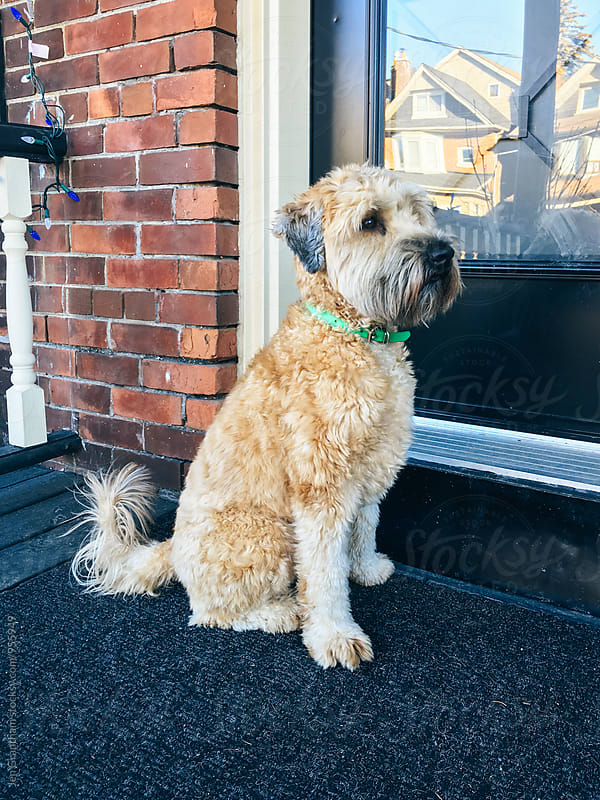 Dog standing at his front door by Jen Grantham for Stocksy United