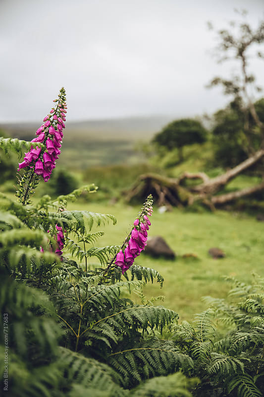 Foxgloves growing wild by Ruth Black for Stocksy United