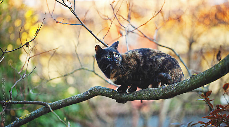 Like a Crow: tabby cat on a tree at sunset by Laura Stolfi for Stocksy United