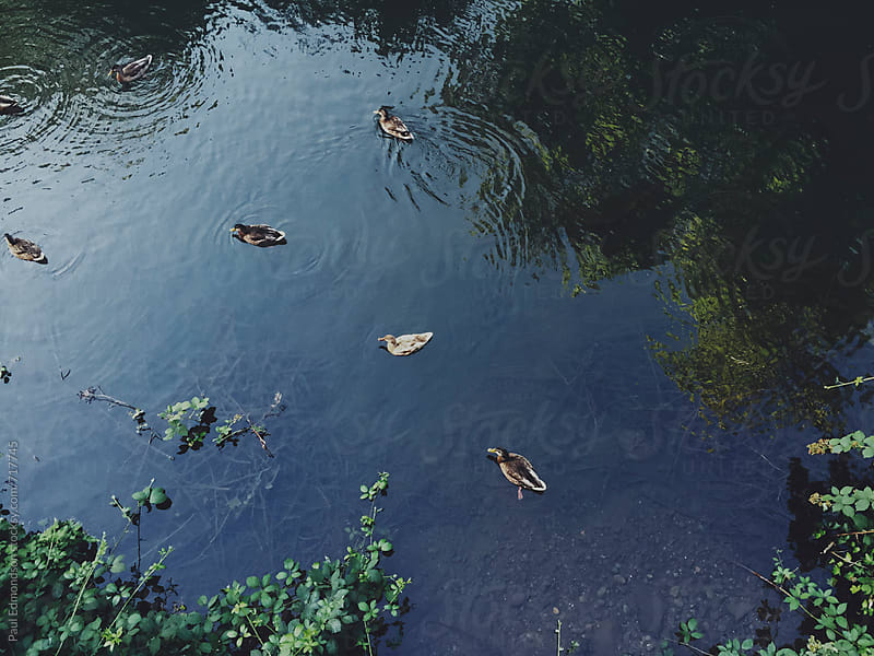 Ducks on pond by Paul Edmondson for Stocksy United