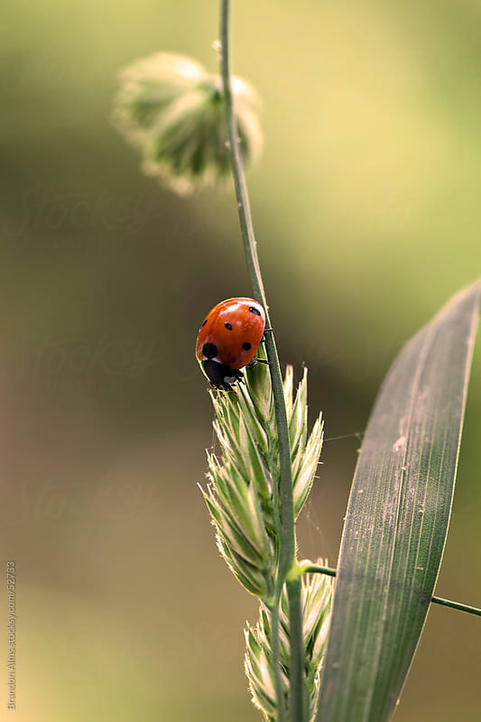 Ladybug Macro Crawling on Overgrown Grass by Brandon Alms for Stocksy United