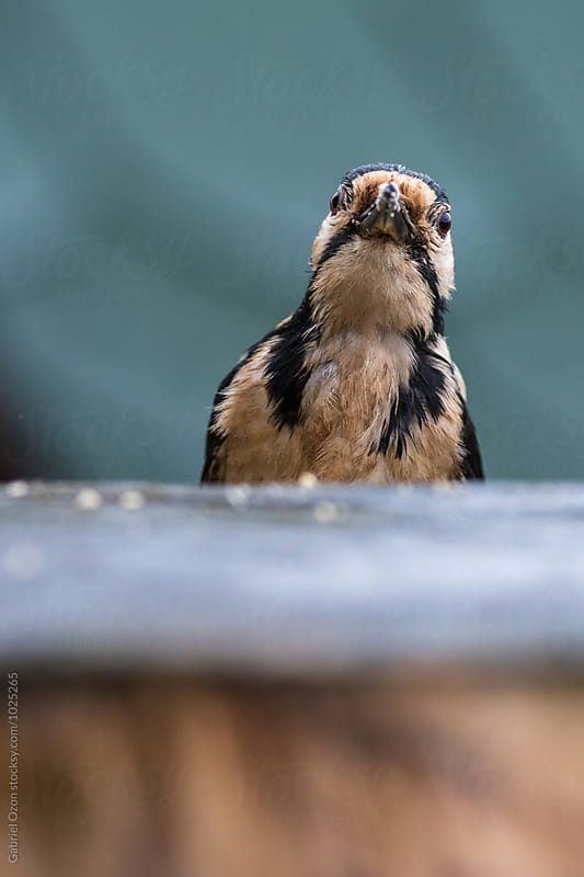 Great spotted woodpecker by Gabriel Ozon for Stocksy United