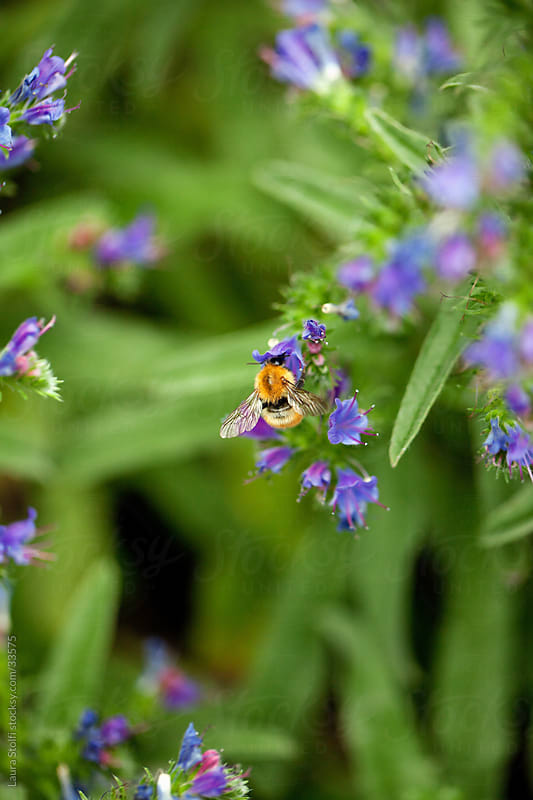 Close-up of bumblebee on Viper's bugloss flower by Laura Stolfi for Stocksy United