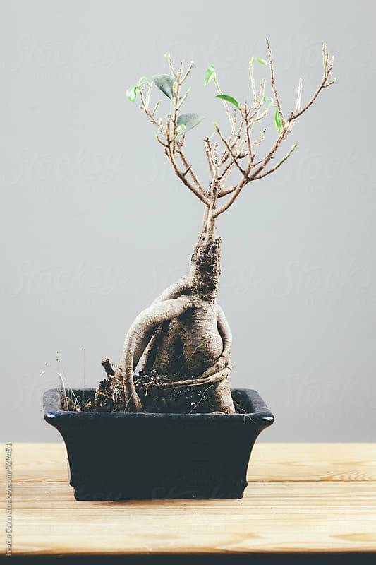 Bonsai by Giada Canu for Stocksy United