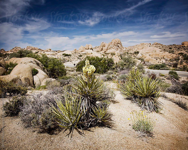 Joshua Tree National Park by Nicolai Perjesi Photography for Stocksy United