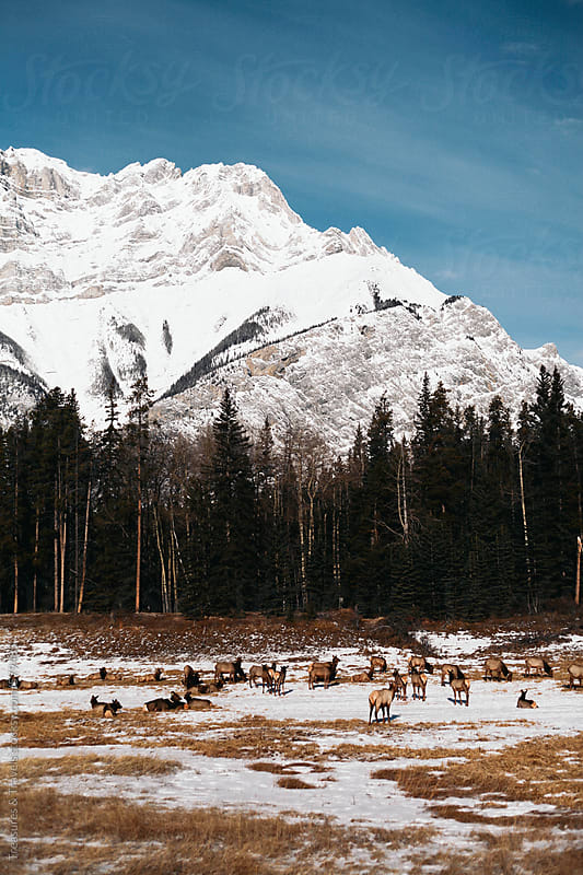 Field beside forest with snowy mountains and deer by Treasures & Travels for Stocksy United