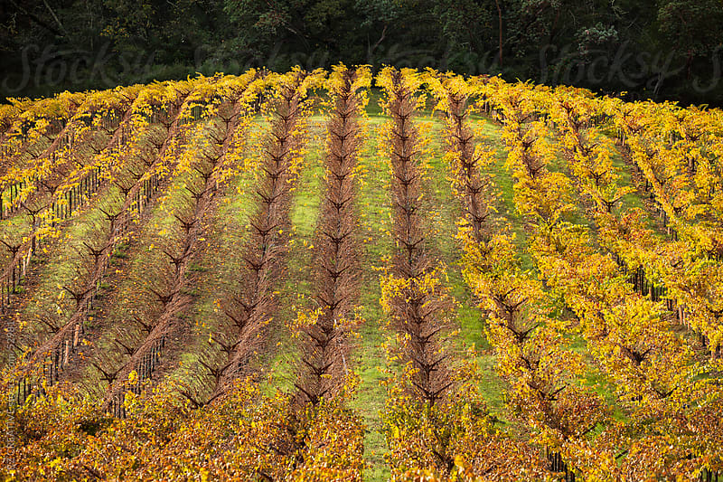A colorful wine field in Napa Valley, California, USA. by Robert Zaleski for Stocksy United