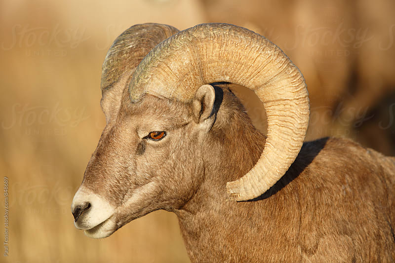 Bighron Sheep by Paul Tessier for Stocksy United