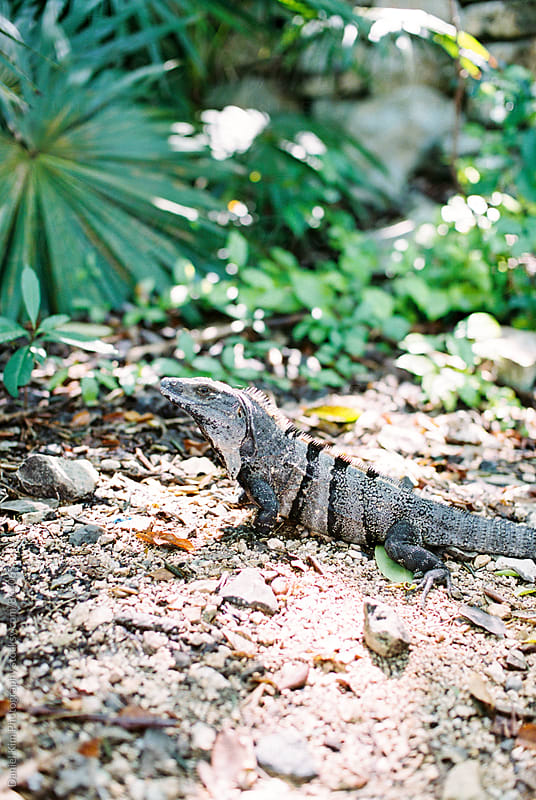 Iguana in tropical setting by Daniel Kim Photography for Stocksy United