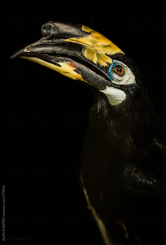 Oriental Pied Hornbill by ALAN SHAPIRO for Stocksy United