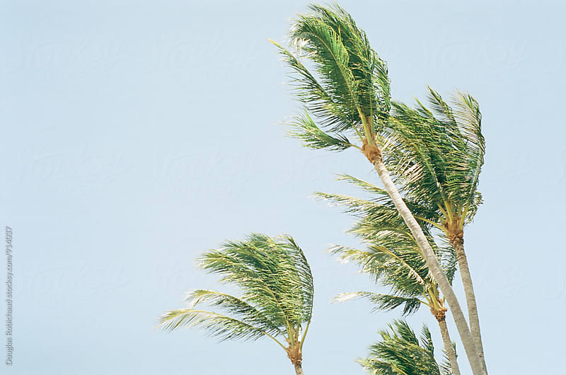 Palm trees blowing in the wind by Douglas Robichaud for Stocksy United