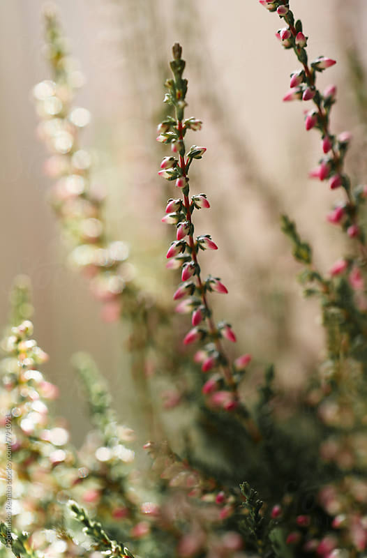 Calluna vulgaris  by Dobránska Renáta for Stocksy United