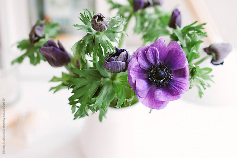 Purple Anemone flowers in a white jug. by Helen Rushbrook for Stocksy United