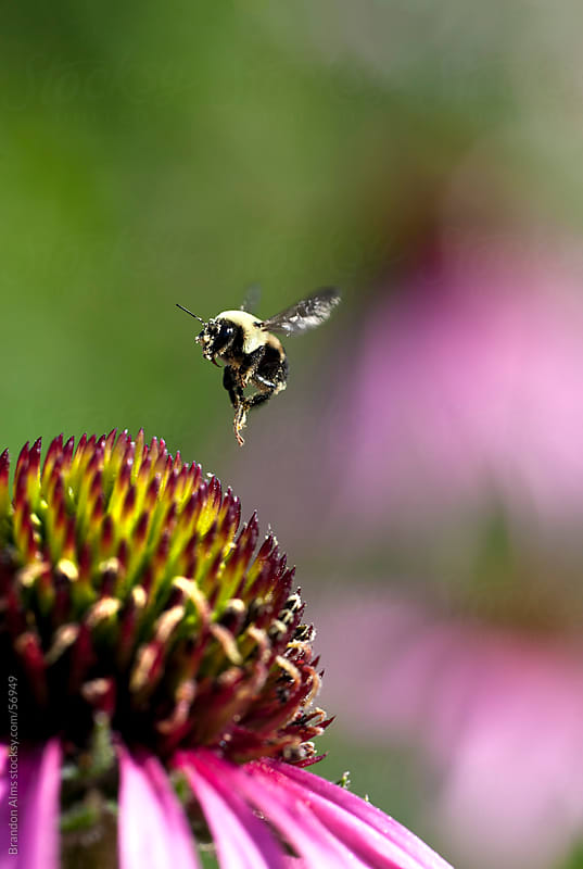 Bumblebee in Flight After Pollinating a Coneflower by Brandon Alms for Stocksy United