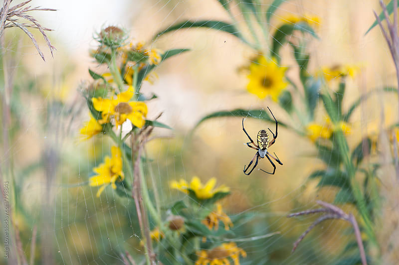 Golden Orb Weaver Spider And Web Among Sunflowers by Leigh Love for Stocksy United