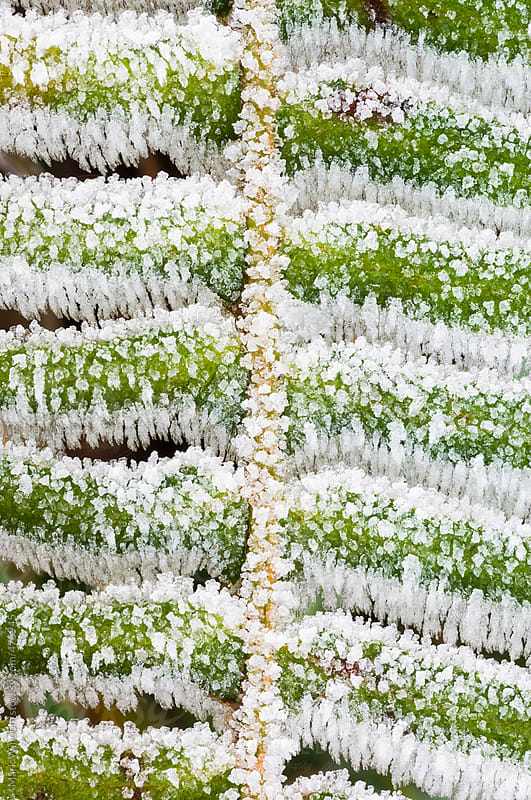 Heavy coasting of frost on a fern frond, closeup by Mark Windom for Stocksy United
