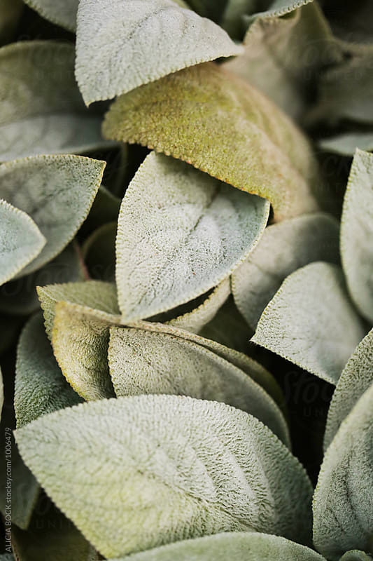 Close Up Of Soft Lamb's Ear Plant Leaves by ALICIA BOCK for Stocksy United