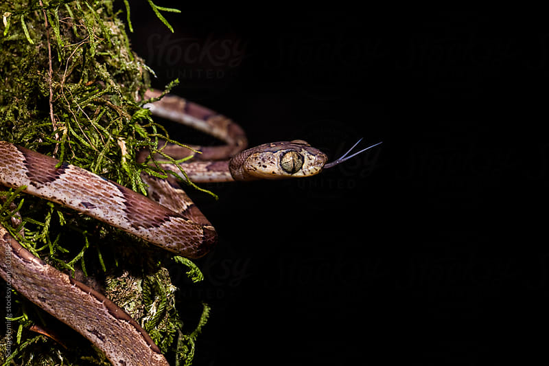Snake with outstretched tongue by Song Heming for Stocksy United