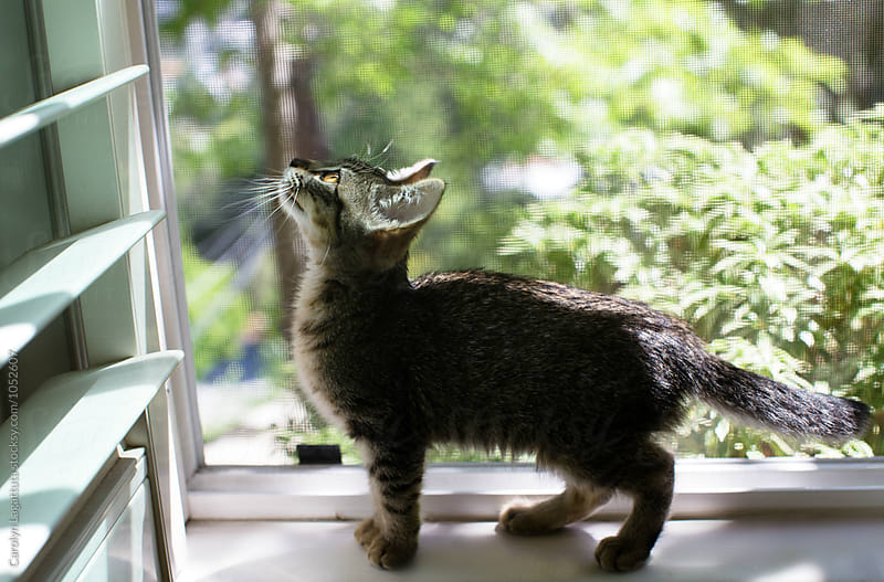 Kitten's first time in the window by Carolyn Lagattuta for Stocksy United