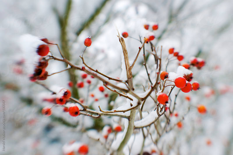 Winter rose hips by Harald Walker for Stocksy United