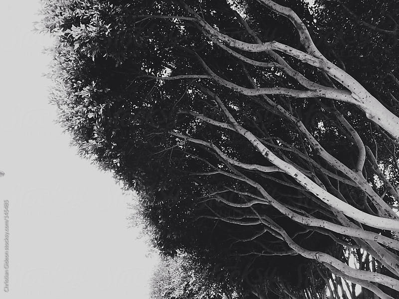 California Trees shot on Iphone by Christian Gideon for Stocksy United